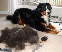Pet hair Removal from carpet The Heart